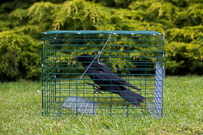 RUSTLER HEDGEROW CORVID TRAP